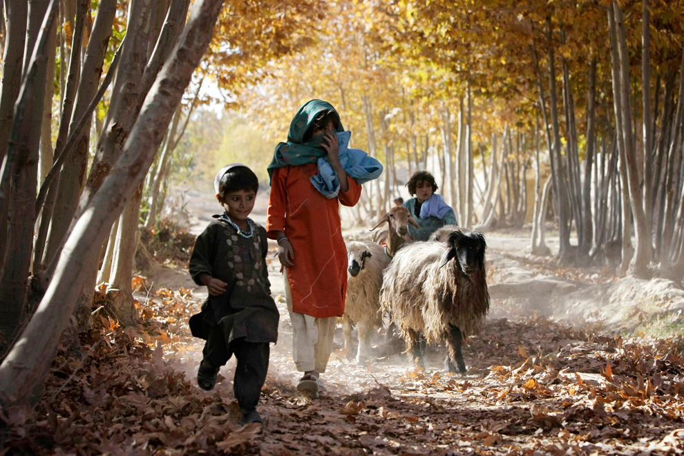 afghan children with sheep