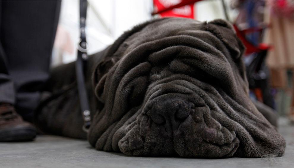 fotos animales Mastin Napolitano