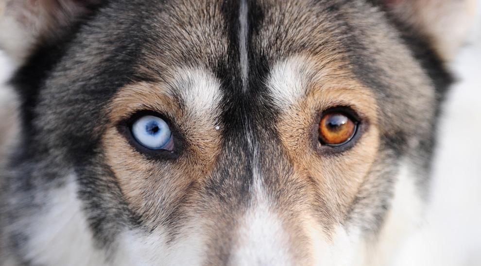 Husky Like Dog Beginning With M