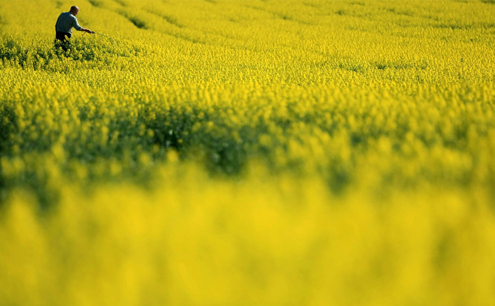 A farmer tends to his blooming rape seed field in the hills above Burford in the Cotswolds on April 21, 2009 in Burford, United Kingdom. (Christopher Furlong/Getty Images)