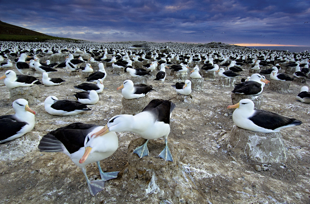 Black-browed Albatrosses on The Falkland Islands
