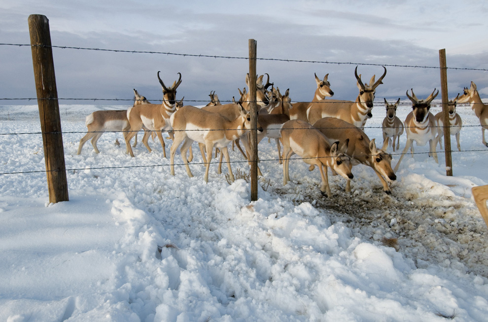Animales migrando