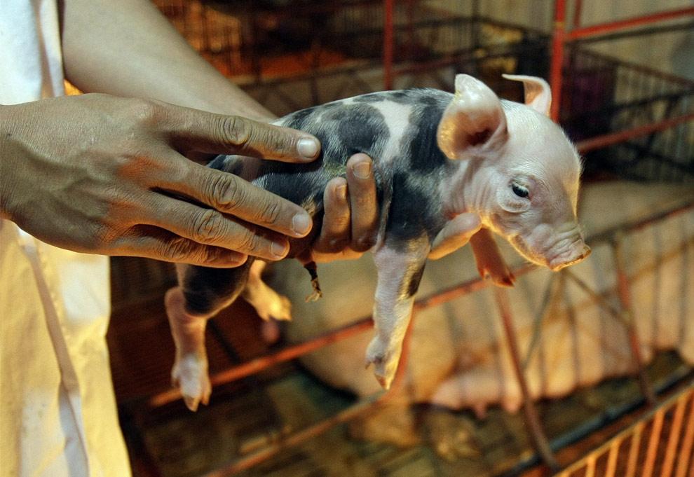 Владелец свинофермы Нгуен Нгок Тук держит на руках однодневного поросенка в Тан Лап в Ханое, Вьетнам 6 мая 2009. По словам владельца на его ферме прилагаются дополнительные усилия по предотвращению возможного распространения свиного гриппа, хотя во Вьетнаме пока не были зарегистрированы случаи этого заболевания. (AP Photo/Chitose Suzuki)