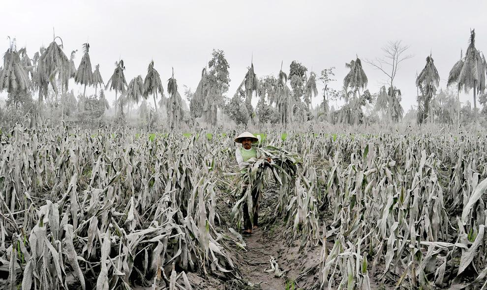 Petani gagal panen karena abu vulkanik