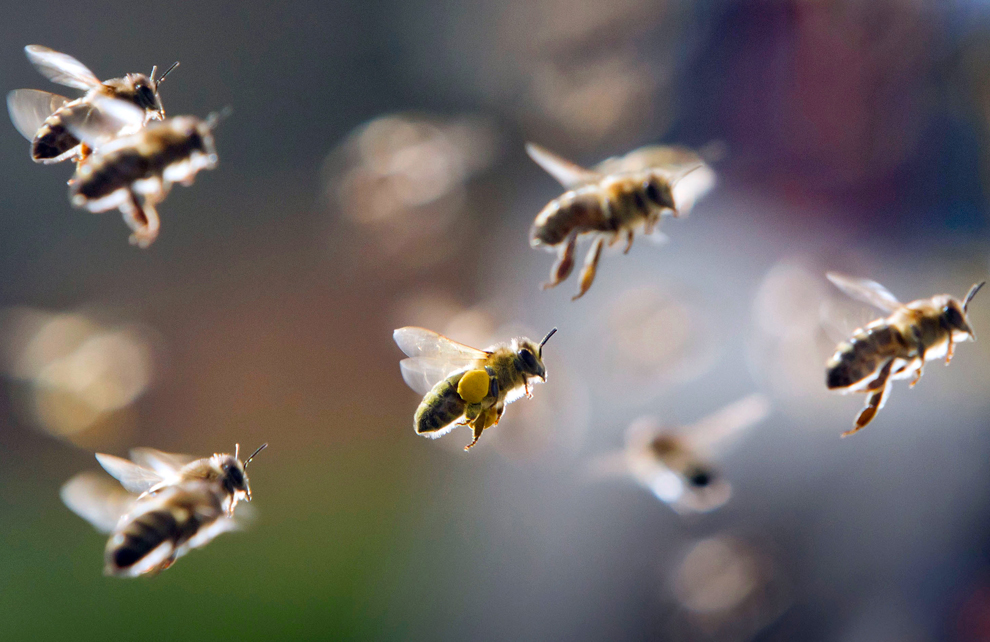 enjambre de abejas, en parte cargada de polen