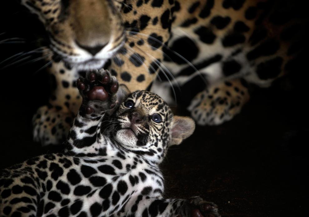 una semana de edad, el jaguar cachorro juega con su madre