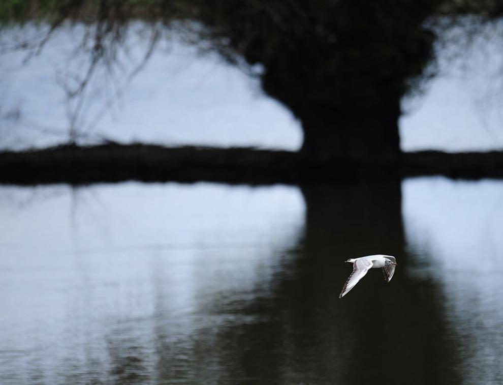 pájaro vuela sobre el agua de un canal del Delta del Danubio cerca de Tulcea ciudad