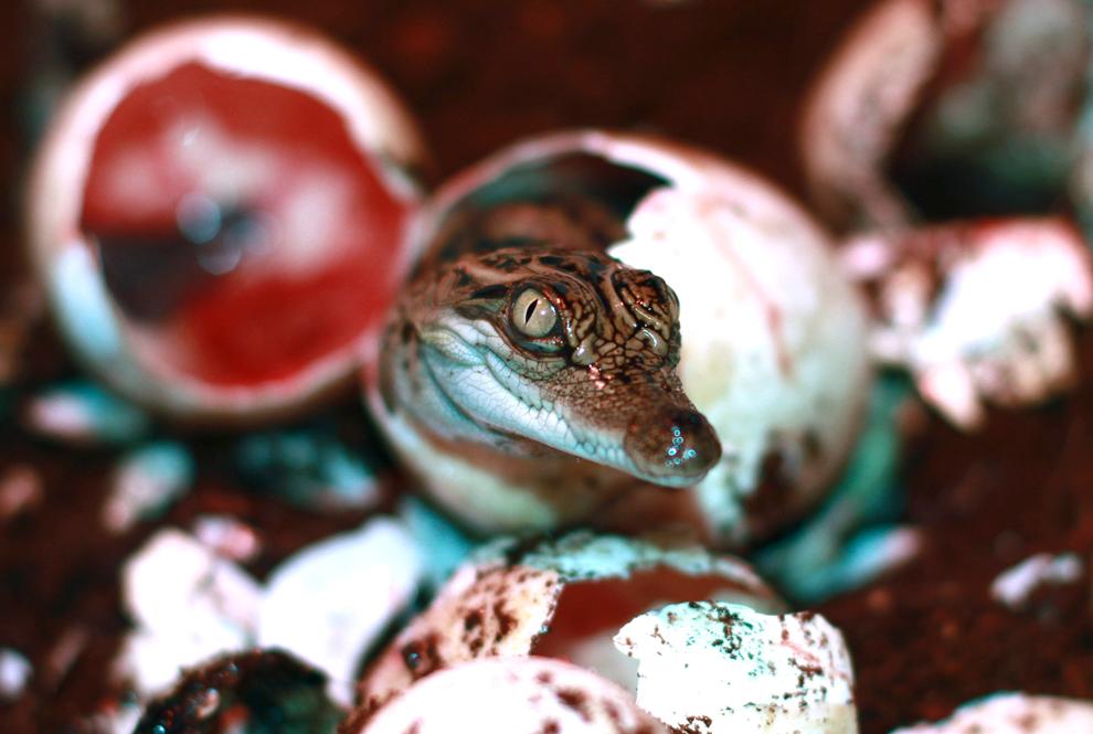 bebés siameses escotillas de un huevo de cocodrilo en el zoológico