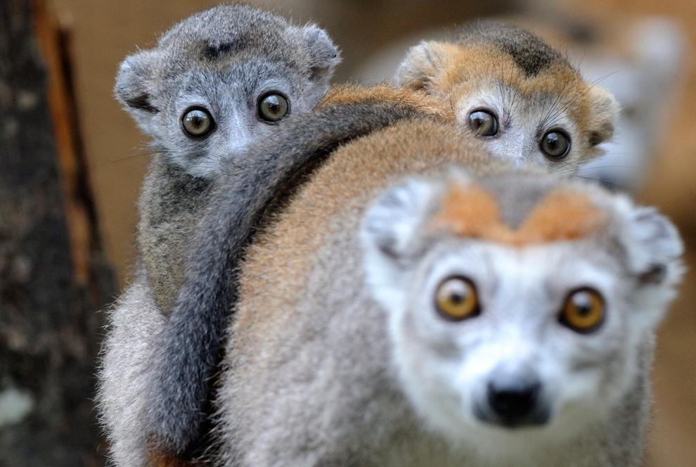 Dos de 3 meses de edad, los lémures coronados acuéstese sobre la espalda de su madre