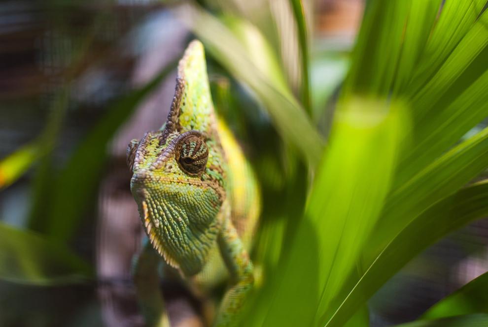 camaleón espera para ser pesados y medidos en la casa de los reptiles en el zoológico de Londres