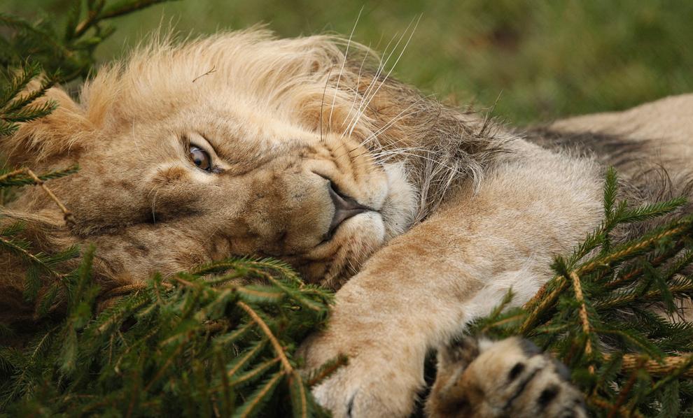 león asiático, juega con un árbol de Navidad reciclado en su recinto en el zoológico de Chester