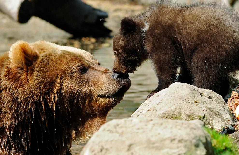 El oso pardo de Kamchatka Mascha y uno de sus dos de 3 meses de edad