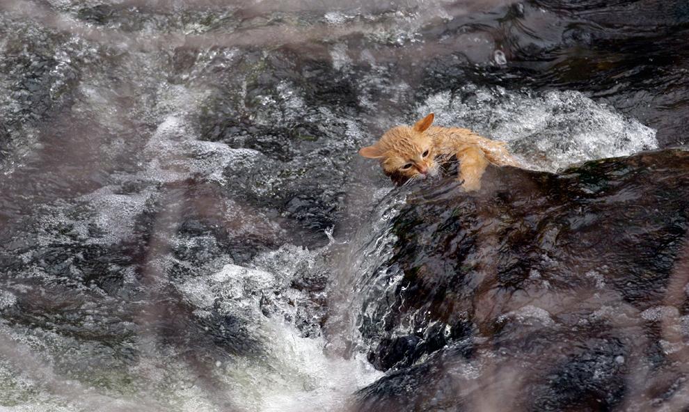 Un gato se aferra a una roca rodeada por los rápidos en Akron