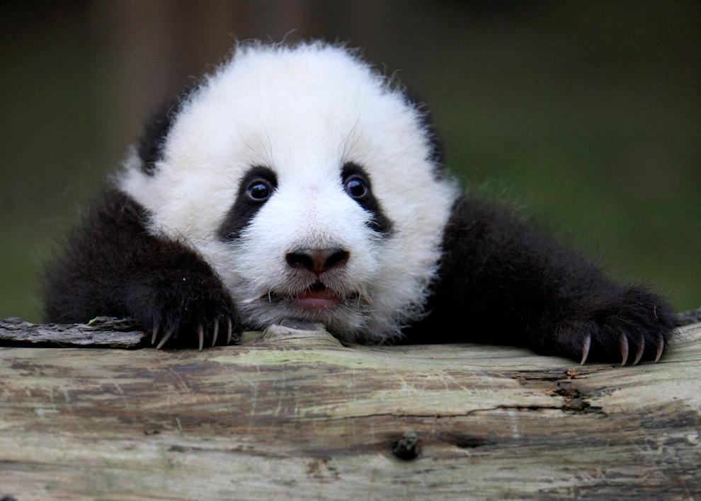 Un cachorro de panda gigante se aferra a un registro en la Base