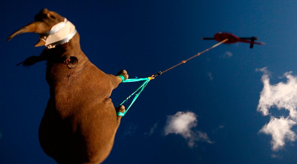 rinoceronte negro es transportado en helicóptero en el sur de África