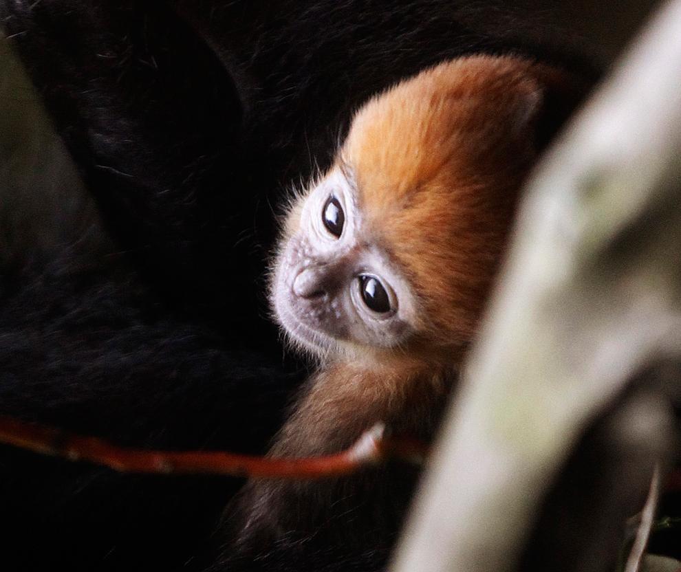 2 semanas de edad, Francois mono de hoja, se presenta a  los medios de comunicación en el zoológico de Taronga en Sydney