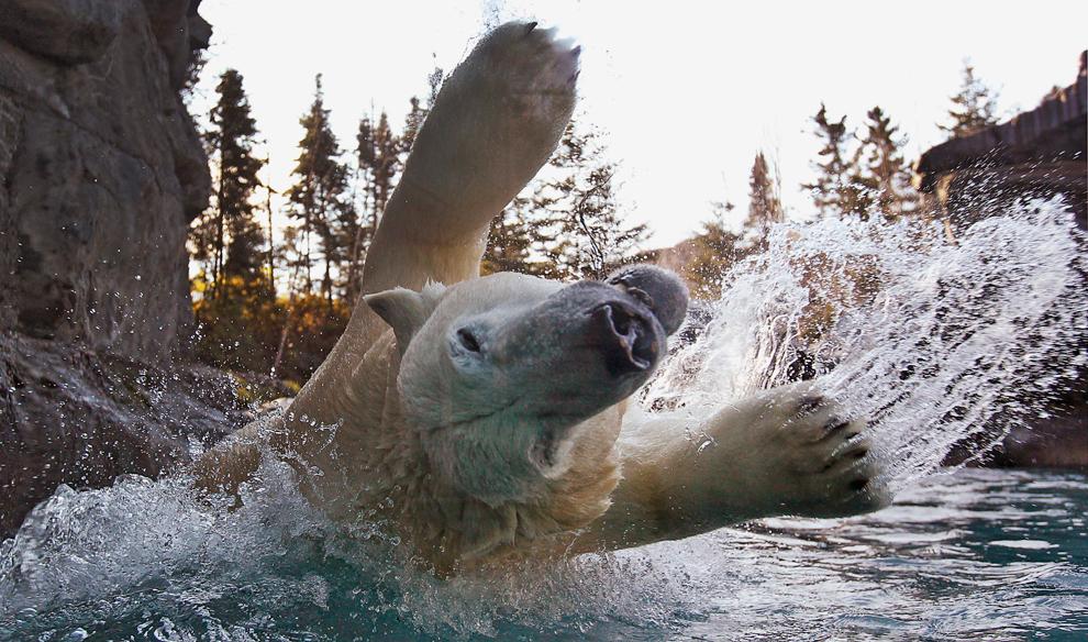 Un oso polar salta el agua en el zoológico de San-Félicien Vida Silvestre en Quebec