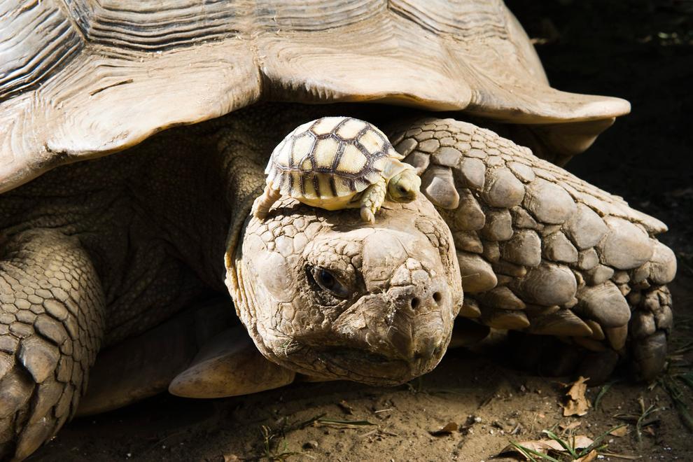 cuatro días de edad tortuga estimulada africana, uno de los ocho  bebés, baños de sol en la cabeza de su madre
