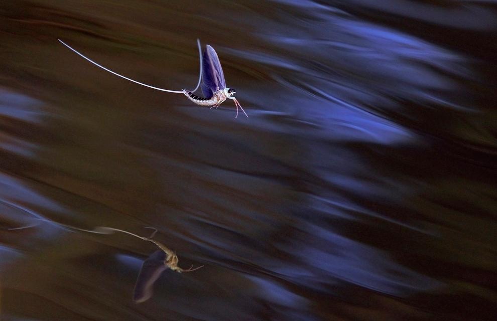 cola larga efímeras aparearse en la superficie del río Tisza