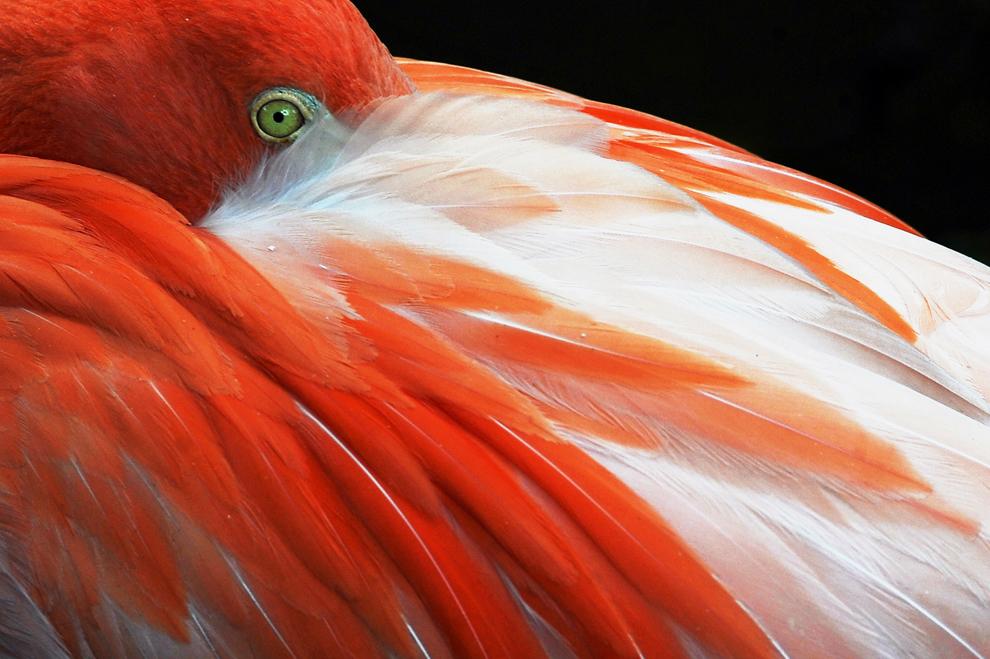 flamenco rosado (Phoenicopterus ruber) se basa en el zoológico de Cali