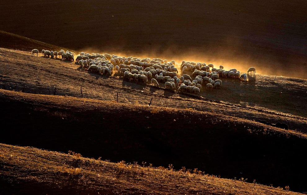 Las ovejas pastan en un campo en la zona de arcillas sienés cerca de Asciano