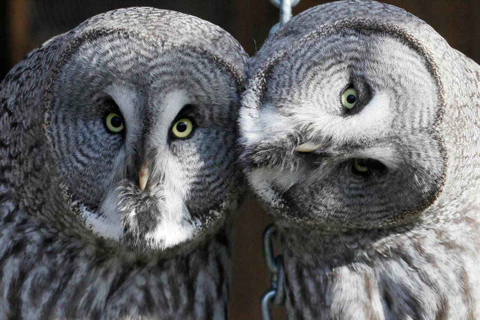 Un par de búhos y lechuzas grises, Laponia, se sientan dentro de una  jaula al aire libre en el parque zoológico