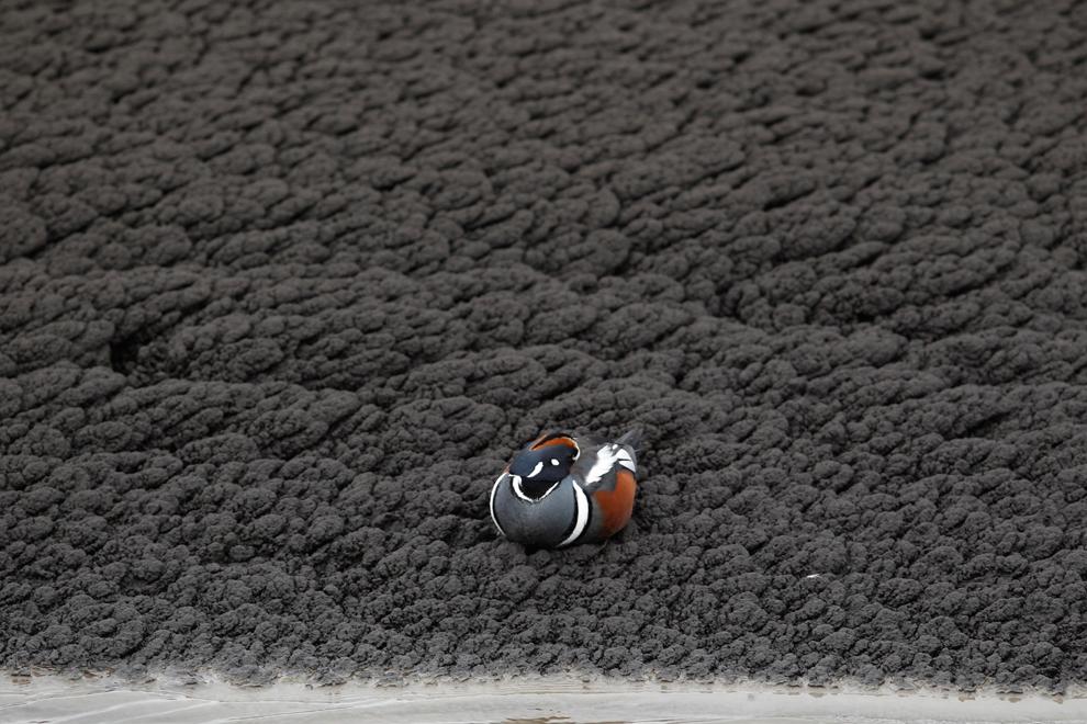 Un pato se encuentra en la parte superior de la ceniza volcánica de la  erupción del volcán Grímsvötn
