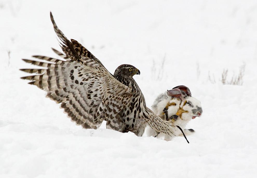 Un halcón ataca a un conejo en un concurso anual de caza tradicional Kazajstán