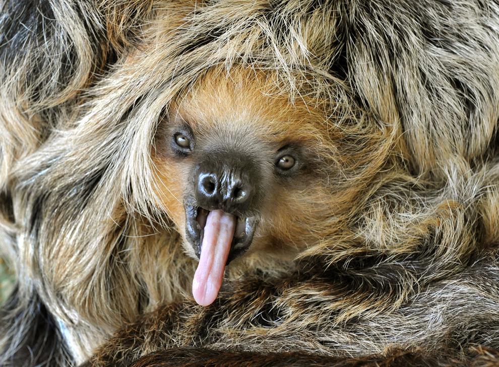 Un niño de ocho meses de edad bebé perezoso de Camilo bosteza en el zoológico de Halle