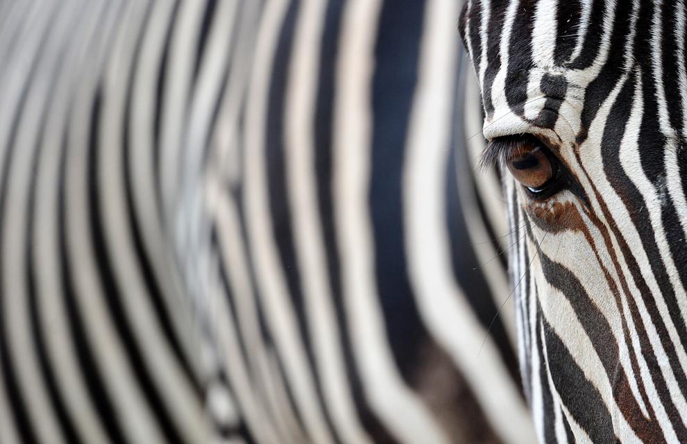 cebra se encuentra en su recinto en el zoológico de Berlín