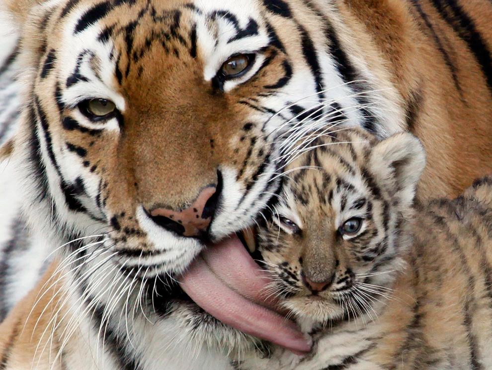 Una hembra de tigre de Amur Rusia