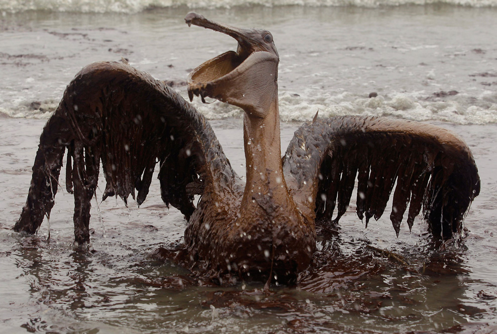 A pelican trapped in the oil spill