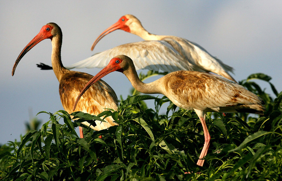 Three oil-coated white ibis sit in marsh grass on a small island in Bay Barataria near Grand Isle, Louisiana June 13, 2010. These birds are being rescued and transported to the Fort Jackson Rehabilitation Center. (REUTERS/Sean Gardner)