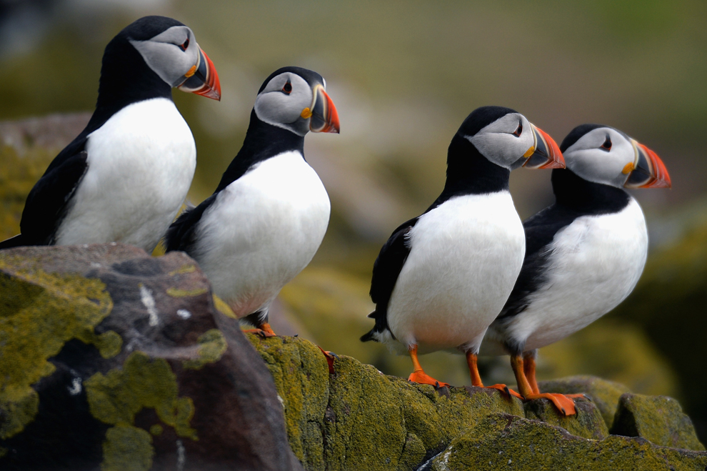 Puffin census on the F...