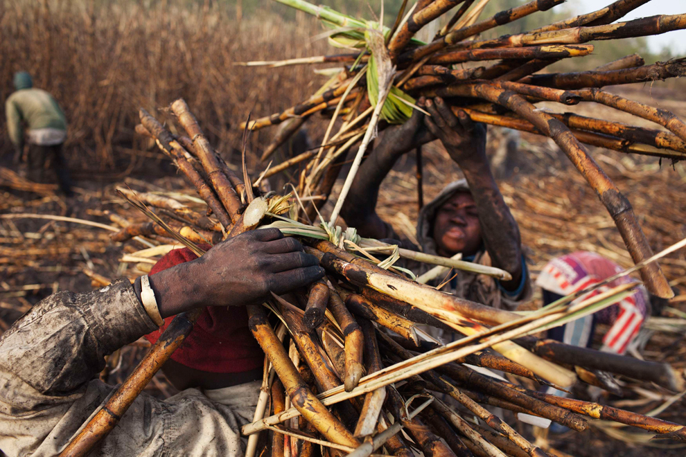 The labor of transporting cane