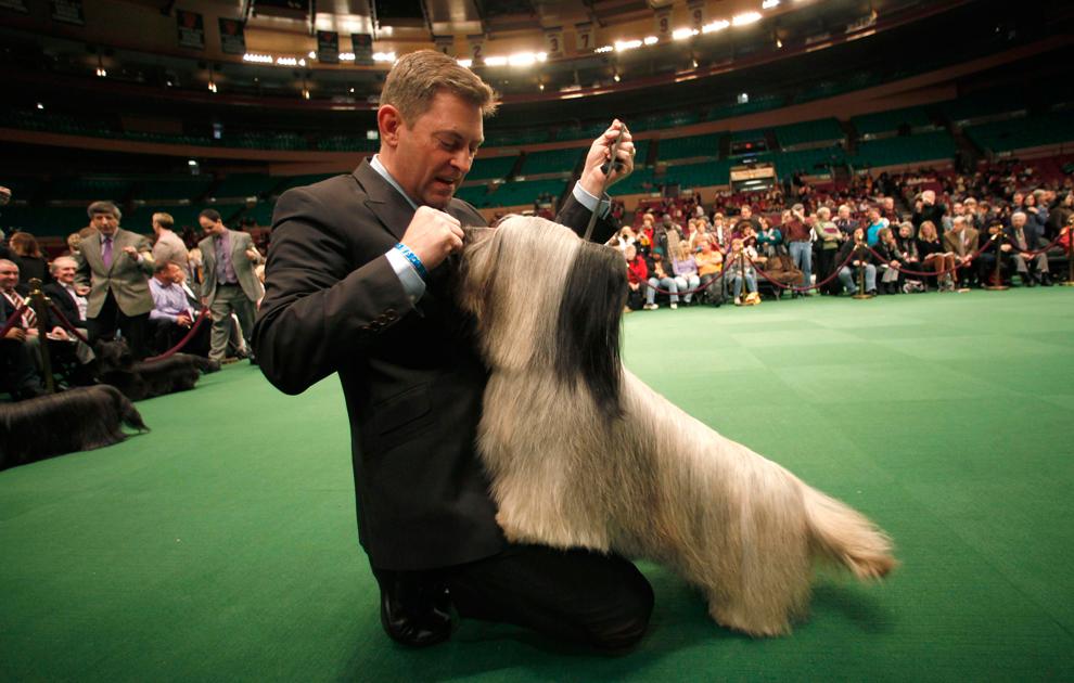 Westminster Dog Show Breed Judging    Vizslas